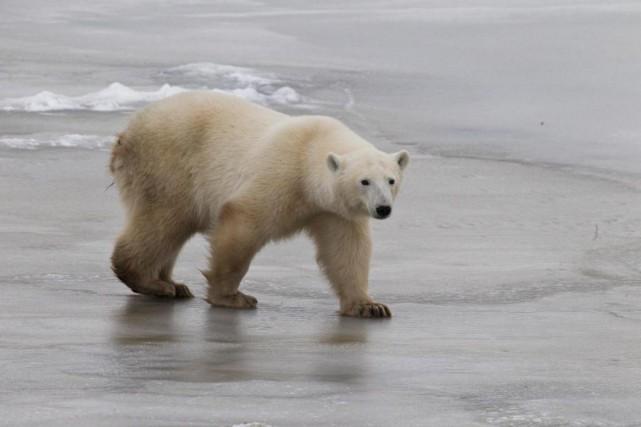 Un ours polaire à Churchill, au Manitoba... (PHOTO STÉPHANIE MORIN, LA PRESSE)