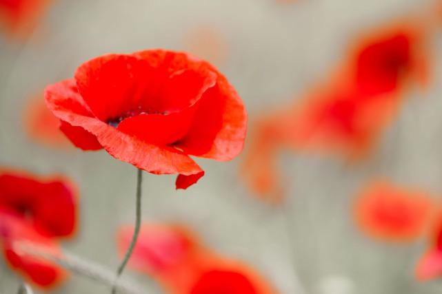 Le jour du Souvenir, le 11 novembre, commémore...