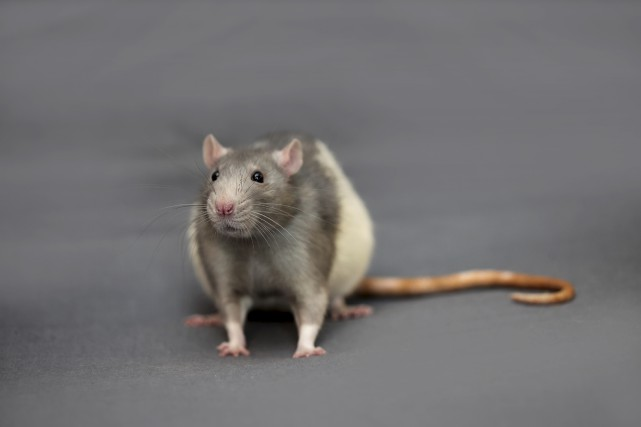 La découverte: les rats sont chatouilleux (123RF, Yegor Larin)