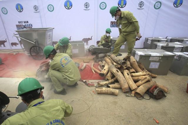 Des ouvriers détruisent des défenses d'éléphants et des... (AP, Hau Dinh)