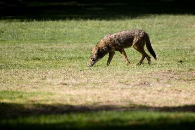 Un groupe de coyotes ont donné une bonne frousse à deux hommes qui se... (Archives La Presse)