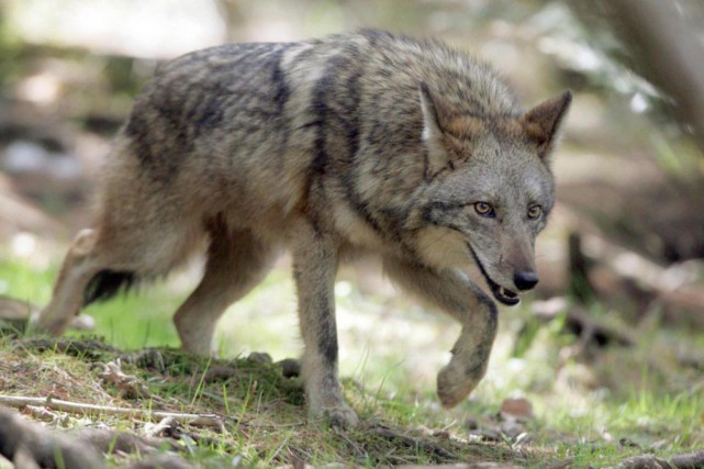 Une meute de coyotes a donné une bonne frousse à deux hommes qui se promenaient... (Archives PC)