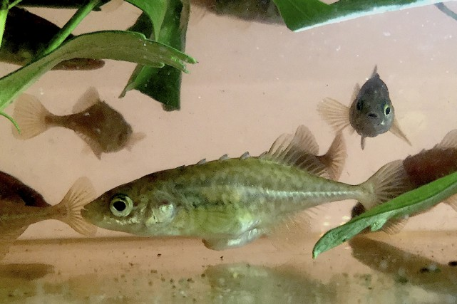 L'épinoche à cinq épines est un petit poisson au corps lisse et sans écailles....