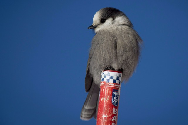 Le mésangeai du Canada est aussi connu sous... (La Presse Canadienne, Jonathan Hayward)