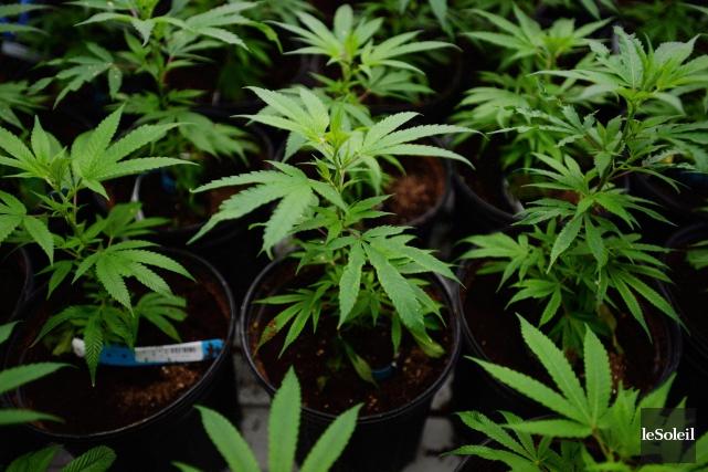 Déclaré coupable d'avoir fait pousser 160 plants de... (Photothèque Le Soleil)