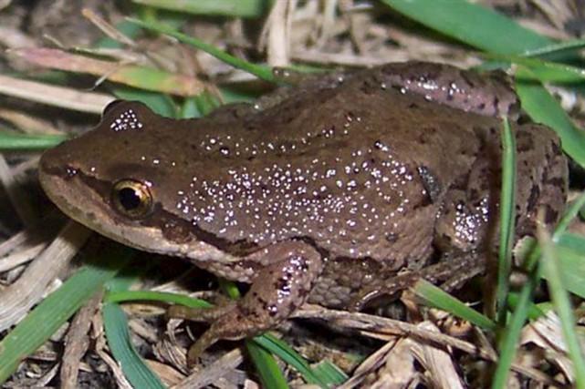 La rainette faux-grillon (une grenouille) fait partie des... (tirée d'internet)