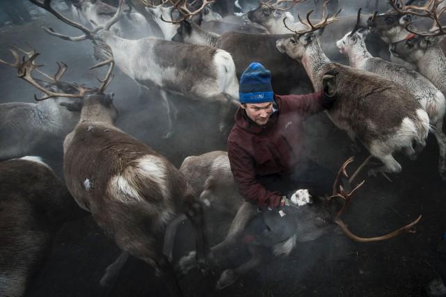 Un éleveur sami couche un renne. Les animaux... (AFP, Jonathan Nackstrand)