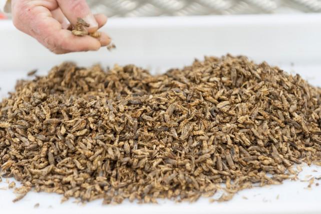 Que mangerons-nous en 2030? Des insectes (notre photo),... (PHOTO AFP)