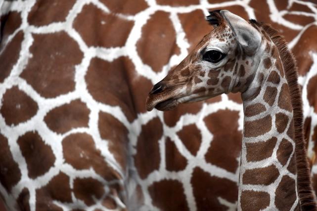 Les girafes, jusqu'ici considérées comme peu menacées, figurent... (AFP)