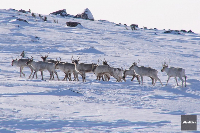 La population de la plus grande harde de caribous migrateurs du Québec, le... (Archives Le Quotidien)