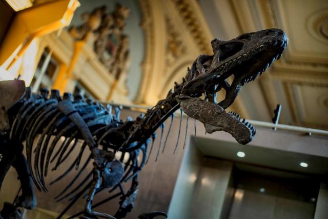 Le squelette quasi-complet d'un dinosaure Allosaurus, prénommé Kan,... (AFP, Jeff Pachoud)