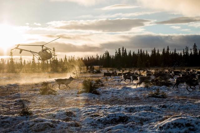 Ce rabougrissement des rennes n'a pas encore entraîné... (AFP)