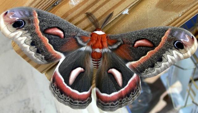 La saturnie cécropia est un majestueux papillon de...