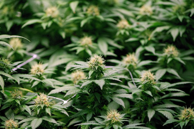 Selon l'IRIS, la commercialisation du cannabis par la... (THE CANADIAN PRESS)