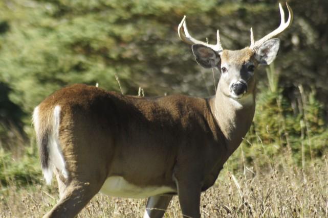 À défaut d'orignal, des milliers de chasseurs de... (Photo fournie)