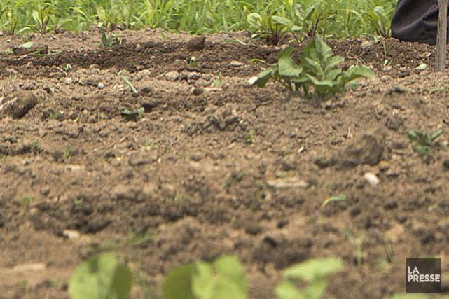 Des restes de pommes de terre découverts sur la côte pacifique du Canada sont... (PHOTO ARCHIVES LA PRESSE)