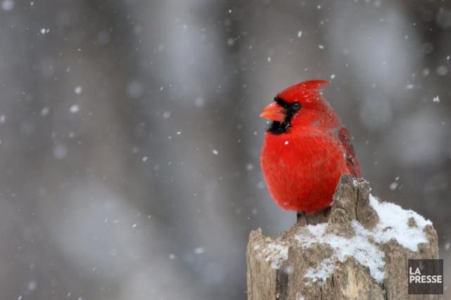Le cardinal fait partie des espèces d'oiseaux que... (archives La Presse)