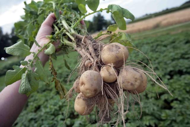 L'équivalent antique de la pomme de terre, qui... (Photothèque Le Soleil)