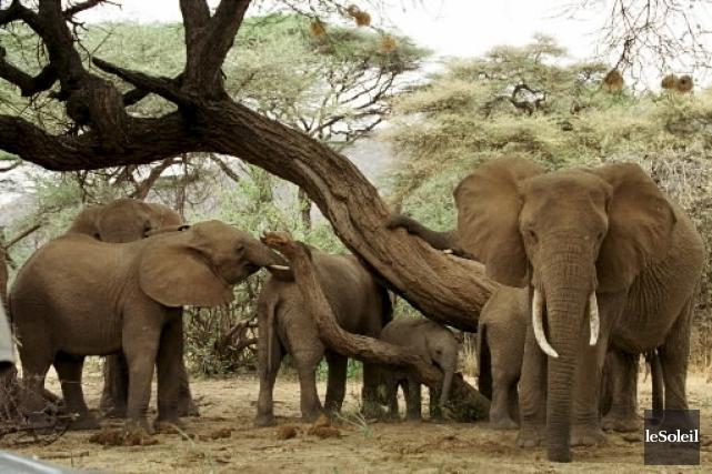 La Chine interdira tout commerce ou transformation de l'ivoire dans le pays... (Photothèque Le Soleil)