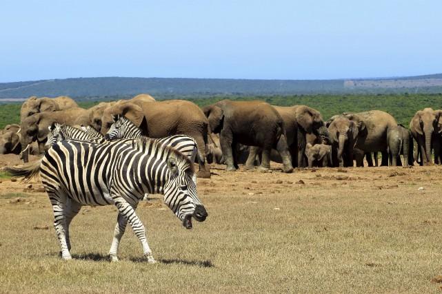 En Afrique du Sud, les possibilités de safaris... (La Tribune, Jonathan Custeau)