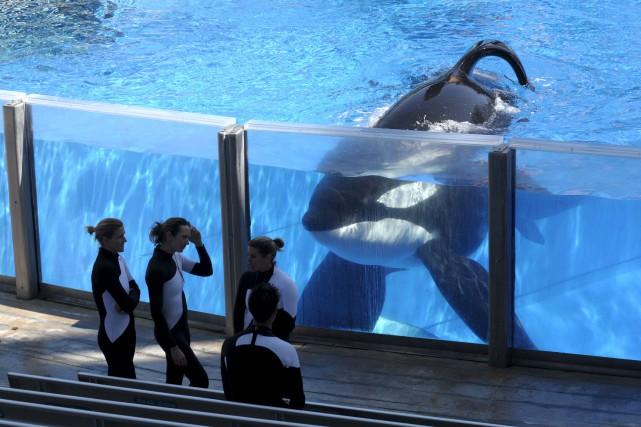 Il faudra attendre l'autopsie du mâle, à SeaWorld... (AP, Phelan M. Ebenhack)
