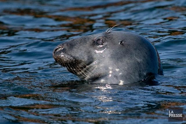 Un phoque observé non loin de Percé, en... (David Boily, archives La Presse)