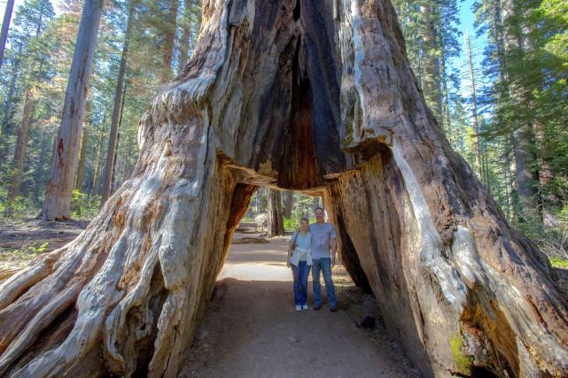 Le Pioneer Cabin Tree, situé dans le Calaveras... (Photo AP)