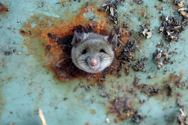 Les rats ont été confiés à la SPCA... (Photo archives Reuters)