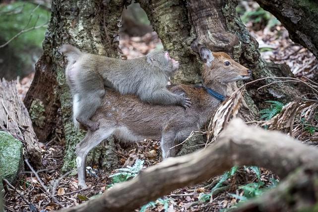 Un jeune macaque a été filmé au Japon... (AFP, Alexandre Bonnefoy, Éditions Issekinicho et Springer Nature)