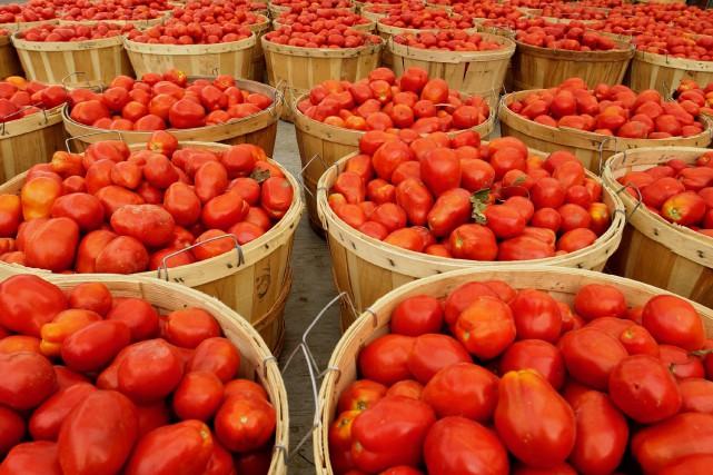 Selon un scientifique, les variétés actuelles de tomates... (Archives La Presse)