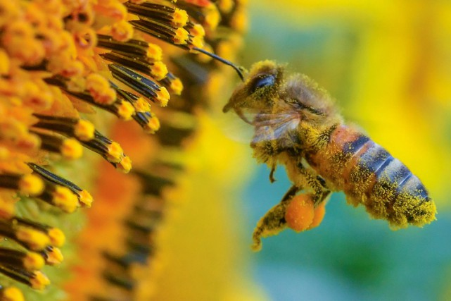 Environ 20 000 espèces d'abeilles fertilisent plus de... (PHOTO AP)