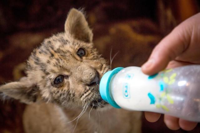 Né le 11 novembre, Tsar est nourri avec... (Photo Yuri MALTSEV, Agence France-Presse)