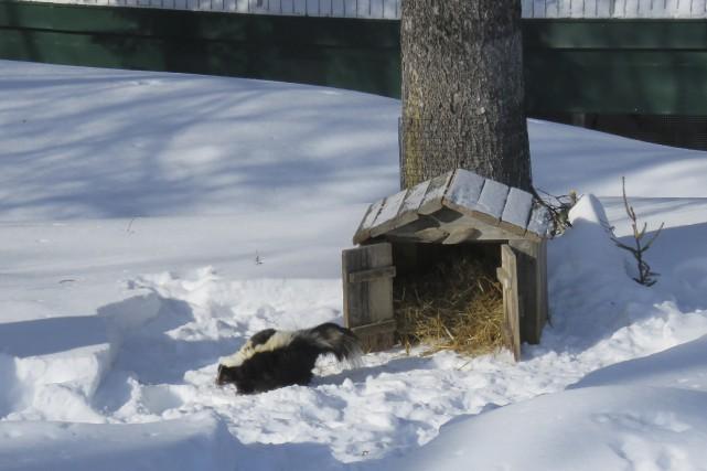L'hiver sera long. Ernest la moufette a vu... (Photo courtoisie)