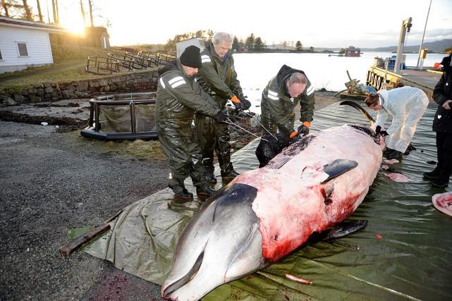 La baleines'est échouée à répétition samedi dernier dans... (Photo AP/fournie par l'Université de Bergen)