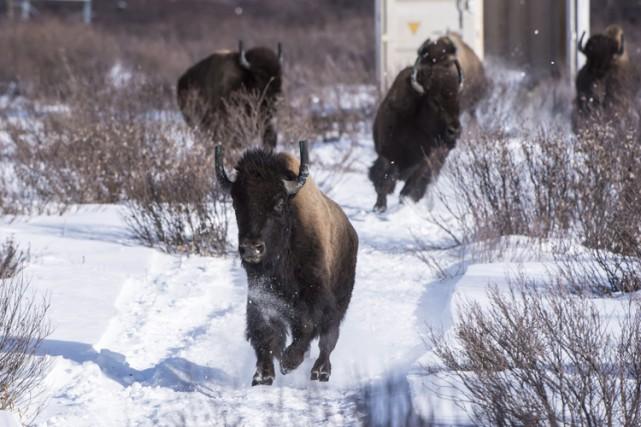 Les bisons paissent de nouveau sur les versants est isolés du parc national... (PHOTO PC)