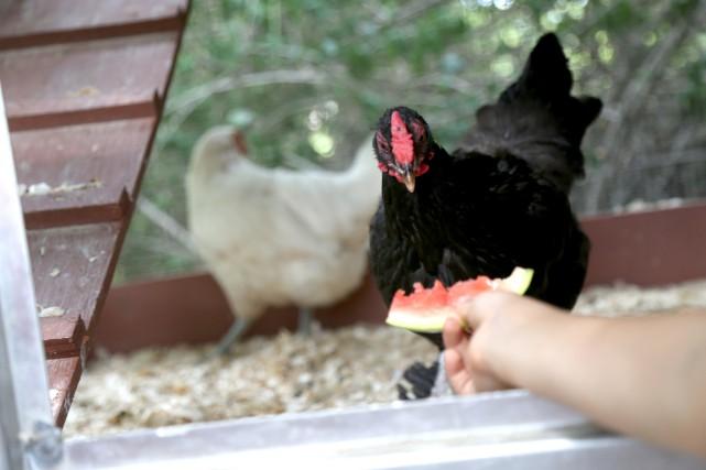 Les poules urbaines seront bientôt permises à Cowansville.... (Julie Catudal, archives La Voix de l'Est)