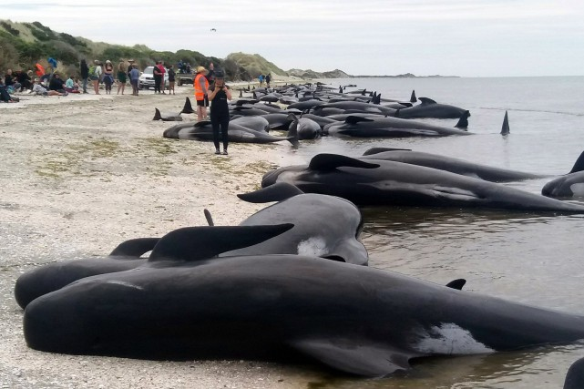 «Vu le nombre de baleines qui sont déjà... (PHOTO Tim Cuff, AP/New Zealand Herald)