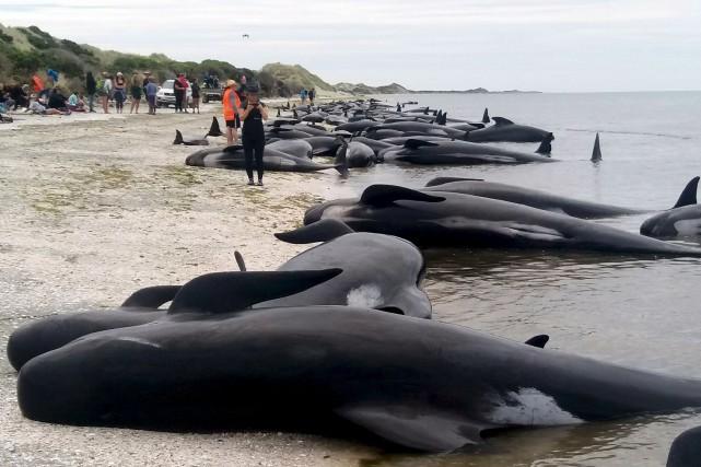 Environ les trois quarts de ces baleines-pilotes -... (AP)