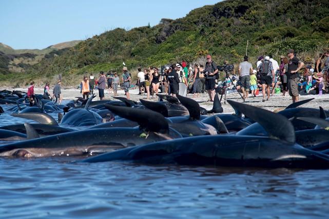 La plage de Farewell Spit, en Nouvelle-Zélande, offrait... (AFP, Marty Melville)