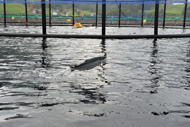 Il faut quatre kilos de poisson sauvage pour... (PHOTO ERIC PIERMONT, AFP)