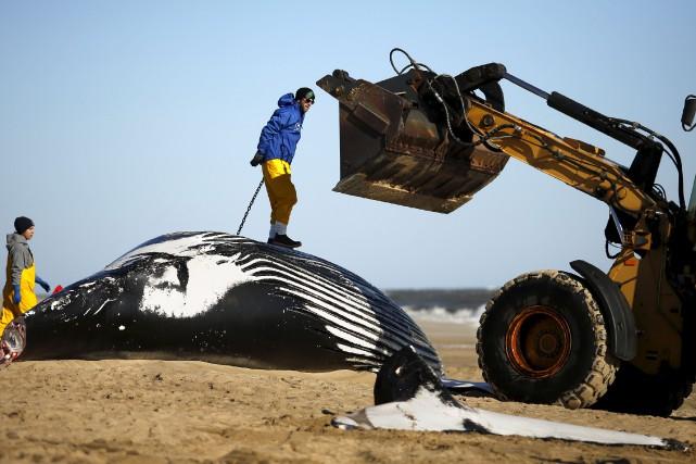Les carcasses de plus de 300 baleines doivent... (AP, Stephen M. Katz)
