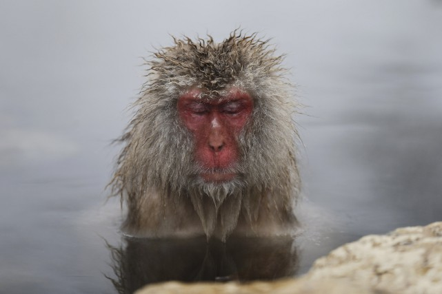 Un macaque japonais.... (PHOTO ISSEI KATO, ARCHIVES REUTERS)