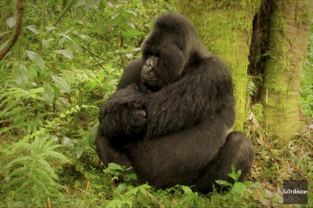 Le mâle alpha, énorme, observait calmement les visiteurs,... (La Tribune, Jonathan Custeau)