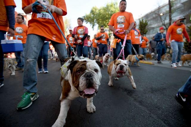 Dimanche, 950 bulldogs ont arpenté sous le soleil... (AFP, Alfredo Estrella)