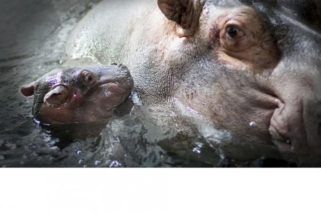 Toute une surprise, lundi matin, quand les gardiens du Zoo de Granby ont entamé... (tirée du site du zoo de Granby)
