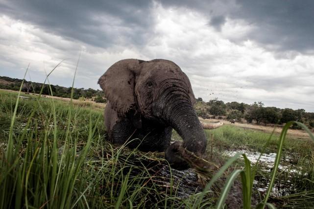 Les éléphants africains en liberté dans la nature... (AFP, Chris Jek)