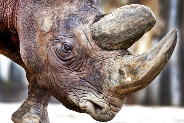Le braconnage des rhinocéros a brutalement explosé il... (AP)
