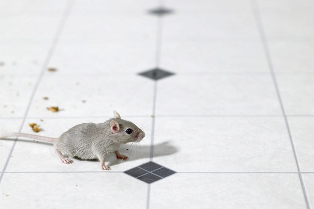Les souris se faufilent par les moindres trous... (Photo Thinkstock)