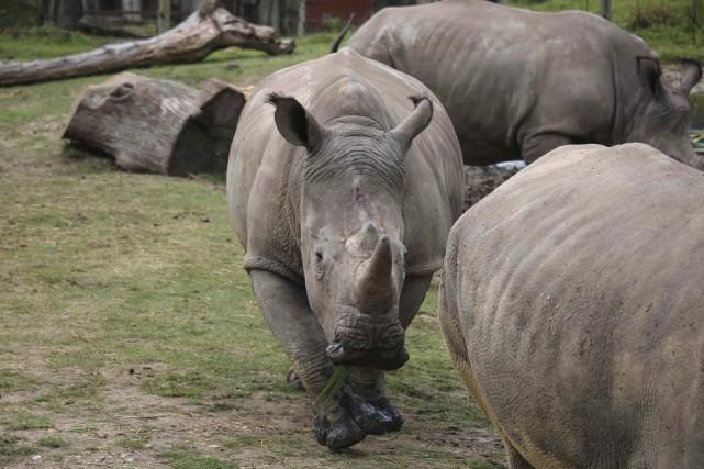 Une photo non datée de Vince, le rhinocéros... (AP)