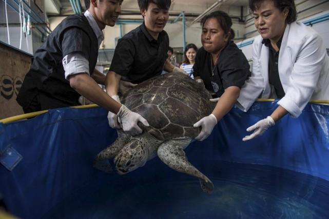 Lundi, la tortue «Omsin» a nagé avec une... (AFP, Roberto SCHMIDT)